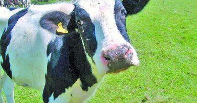 Новый вид топлива – биогаз из коровьего навоза