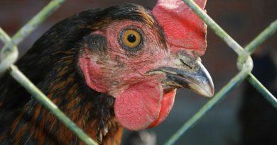 Евросоюз готовится запретить продажу яиц куриц, содержащихся в клетках